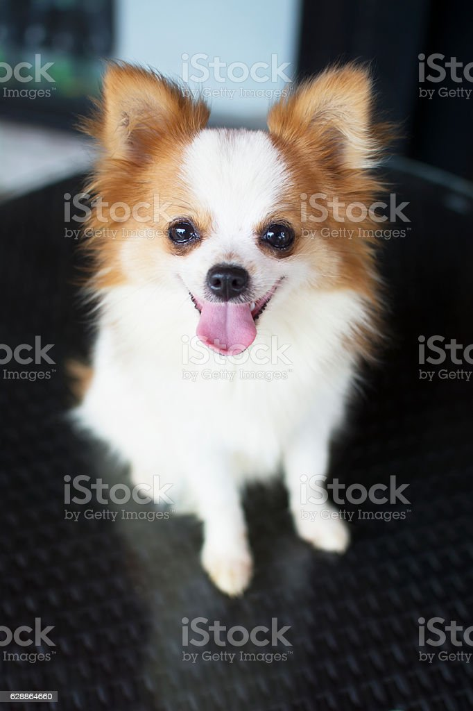 Cute White And Brown Crossbreed Chihuahua And Pomeranian Dog Stock