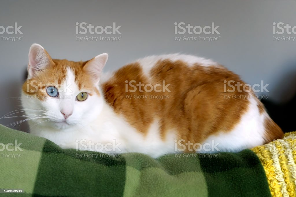 Cute white and orange cat with different eye colors, heterochromia stock photo