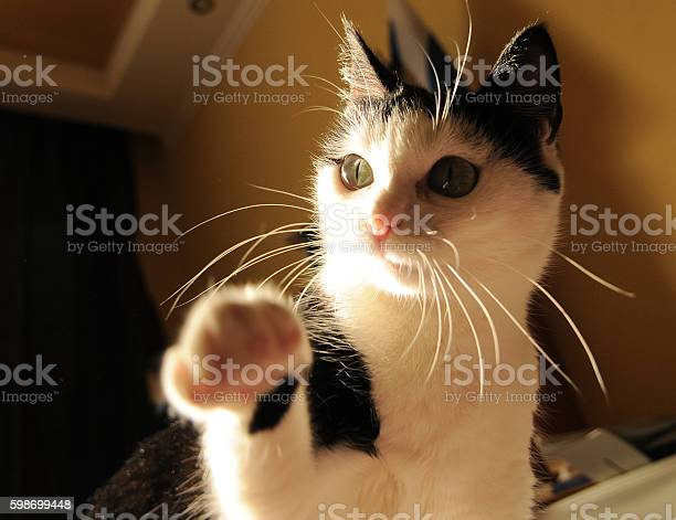 Cute white black cat playing and holds out his paw picture id598699448?b=1&k=6&m=598699448&s=612x612&h= oyngv pcimfiwx 8egyw3pu7crkxxnjaz 0msyotqy=