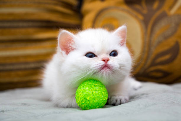 Cute white British kitten lying on the couch stock photo
