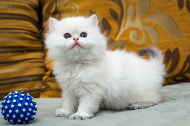 A cute white British long-haired kitten is standing on the couch stock photo