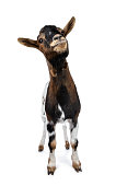 White with black and brown spotted pygmy goat on white background