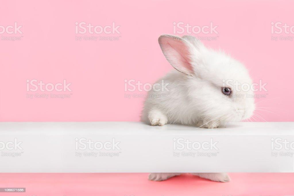 可愛的白色兔子看著你。 - 免版稅一隻動物圖庫照片