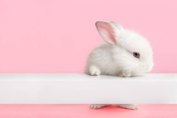 Cute white bunny rabbit looking at you. Cute white bunny rabbit climbing up and looking at you with pink background. fluffy stock pictures, royalty-free photos & images