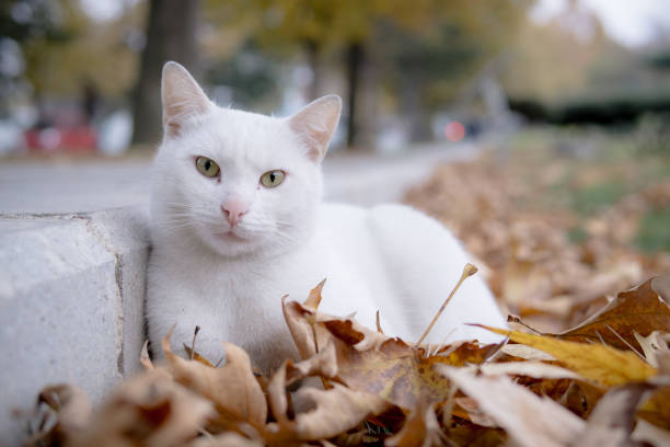 Cute white cat laying on dried leaves picture id1070179072?b=1&k=6&m=1070179072&s=612x612&w=0&h=uiezbrvvhgenlhx1ica1vdn39pmtukghjfqcage3fmu=