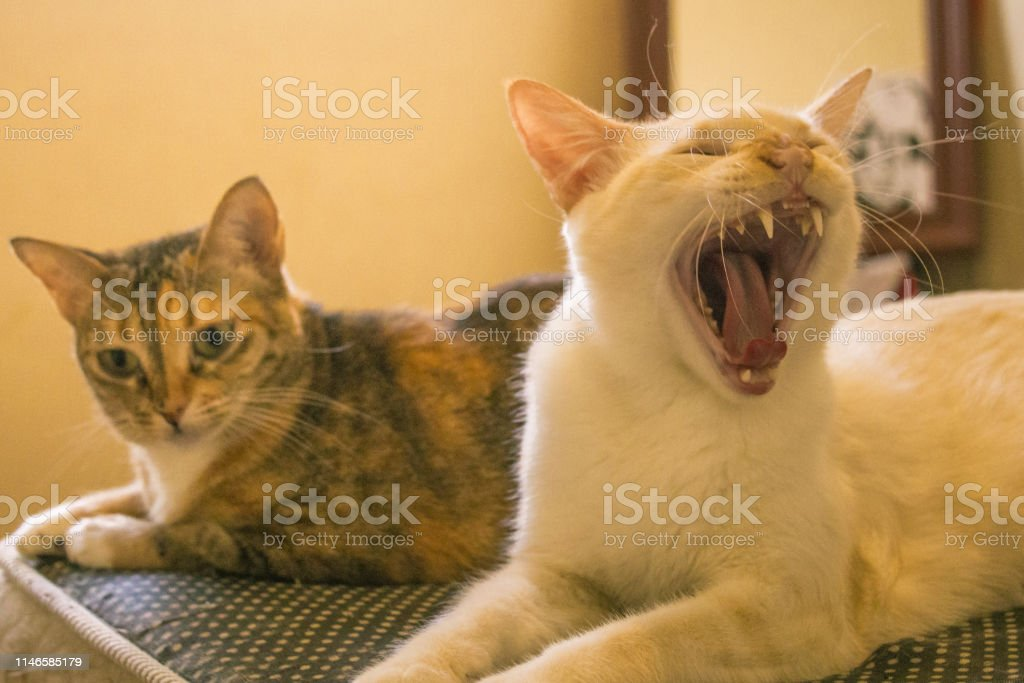 Cute white cat with mouth wide open. Two friendly cats on bed.