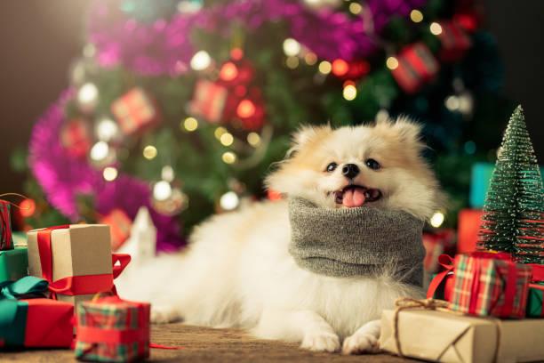 süße weiße Farbe kleine Hund sitzen entspannen in der Nähe von Geschenk-Box und Weihnachtsbaum festliche Hintergrundkonzept – Foto
