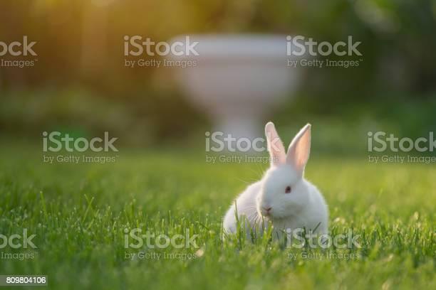 Cute white cottontail bunny rabbit munching grass in the garden picture id809804106?b=1&k=6&m=809804106&s=612x612&h=t0qd2aowylb5kgpazryruxg8gmk72sst2kg9z x4xo8=