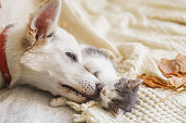 istock Cute white dog cleaning little sleepy kitten on soft bed in autumn leaves. Adoption concept. Dog grooming kitty on cozy blanket, furry friends. 1271175429