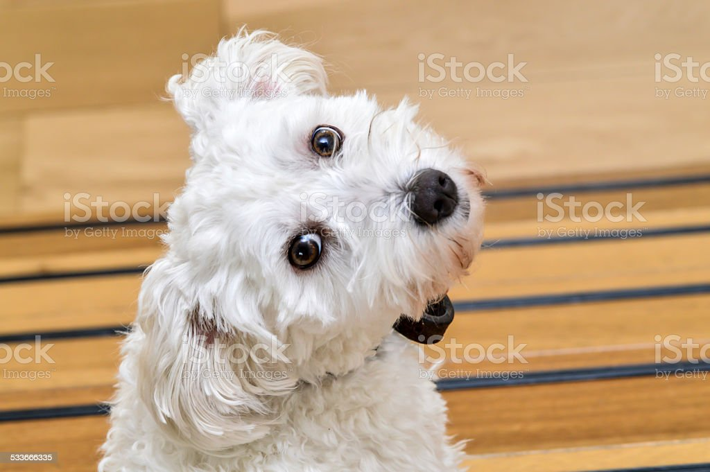 Cute white dog stock photo