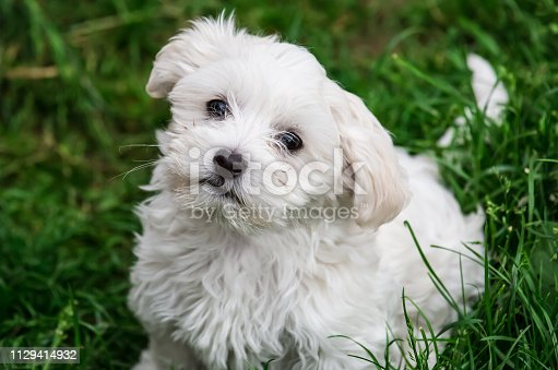 Cute white doggie looks trustful Cute white doggie looks trustful