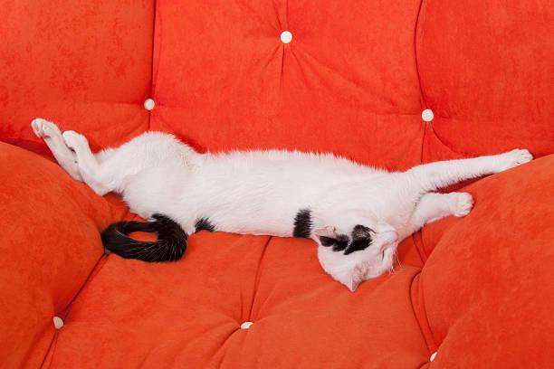 Cute white domestic cat lying on a sofa stock photo