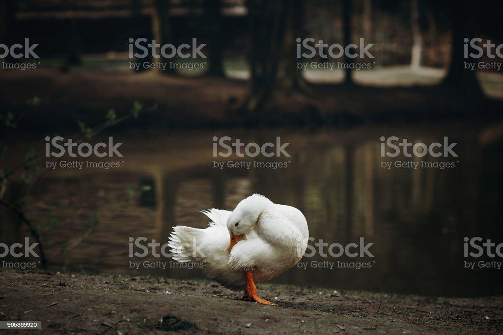 시골에서 연못 근처 흙 바닥에 서 있는 귀여운 흰 오리 가정 개념을 농업에서 프랑스 마 농장, 호수 근처 오리 새 - 로열티 프리 가금류 스톡 사진