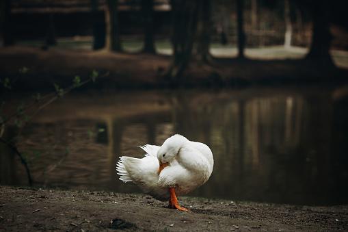 시골에서 연못 근처 흙 바닥에 서 있는 귀여운 흰 오리 가정 개념을 농업에서 프랑스 마 농장 호수 근처 오리 새 가금류에 대한 스톡 사진 및 기타 이미지