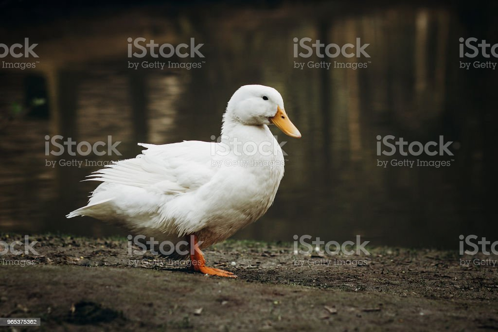 Cute white duck standing on dirt ground near pond in the countryside, domesticated duck bird near lake in French village farm, farming concept royalty-free stock photo