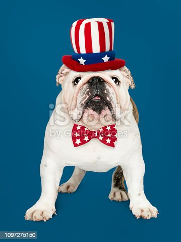 istock Cute white English Bulldog puppy in Uncle Sam hat and bow tie 1097275150