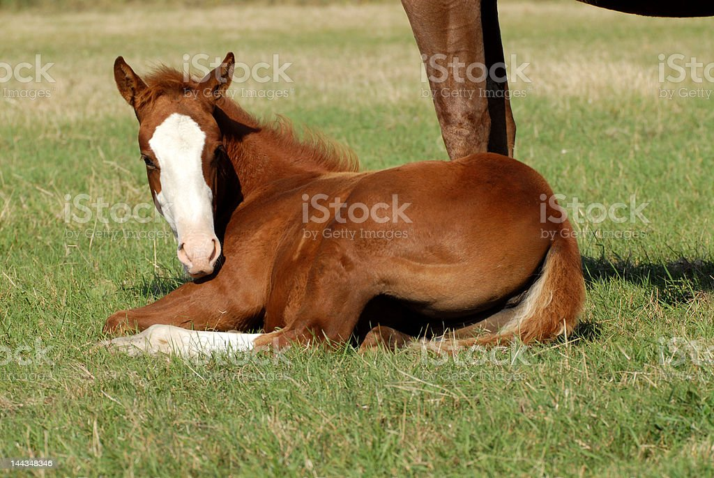 cute white face lying royalty-free stock photo