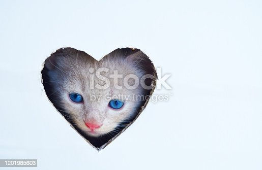 Cute white kitten with blue eyes is looking trough heart shape hole, Happy Valentines Day concept.