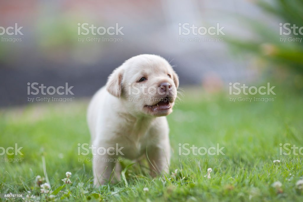 Cute White Labrador Puppy On The Grass Stock Photo Download Image Now Istock