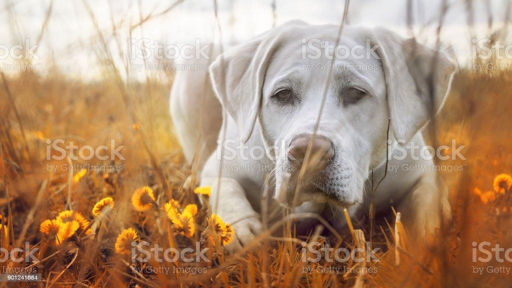 niedlichen weißen Labrador Retriever Hund Welpe auf einer Wiese unter Blumen – Foto