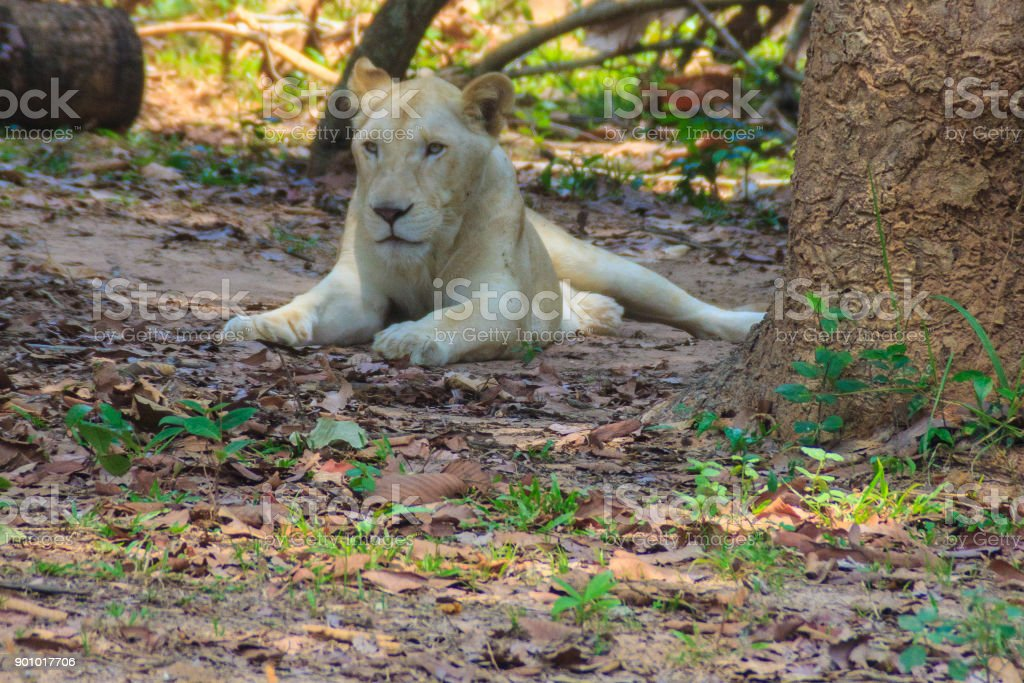 Cute white lion is lying in the shade of tree during summer forest. stock photo