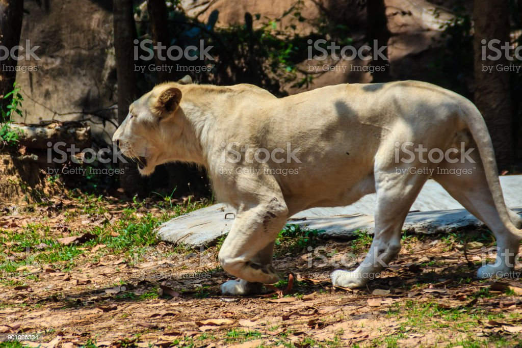 Cute white lion is walking in the forest. stock photo
