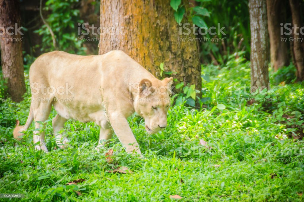 Cute white lion (Panthera leo), one of the big cats in the genus Panthera and a member of the family Felidae. The commonly used term African lion collectively denotes the several subspecies in Africa. stock photo