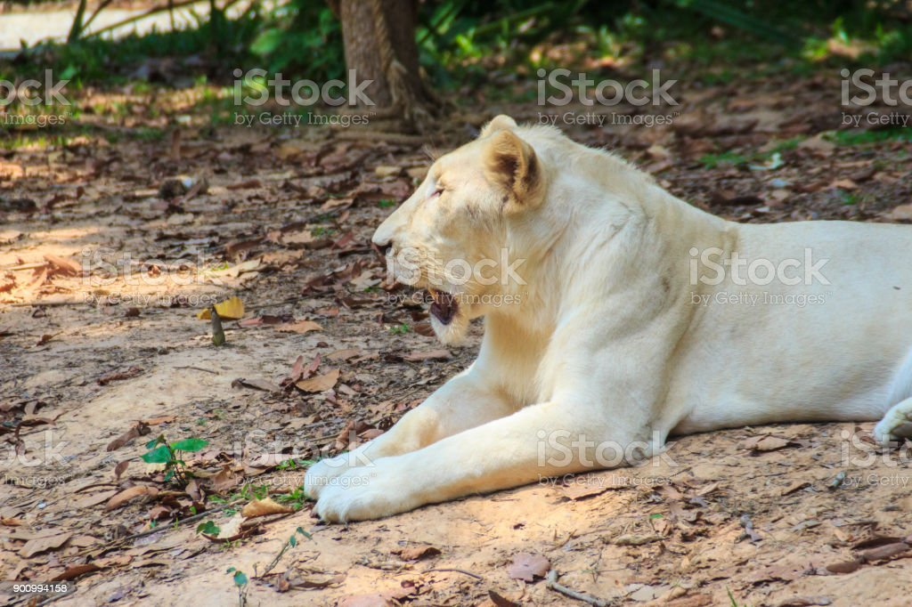 Cute white lion stock photo