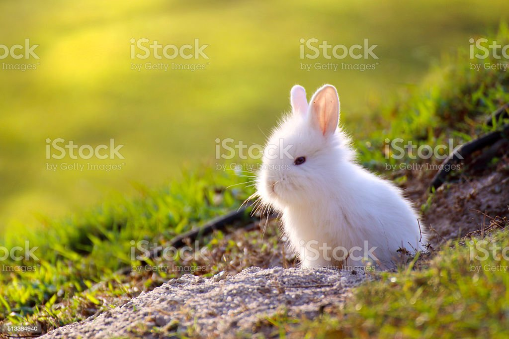 Cute white Little Rabbit peeking out of hole. stock photo