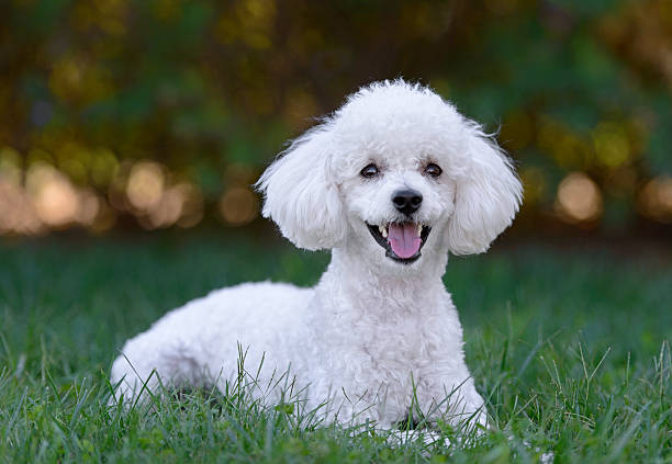 Cute white male poodle puppy Cute white male poodle puppy poodle stock pictures, royalty-free photos & images