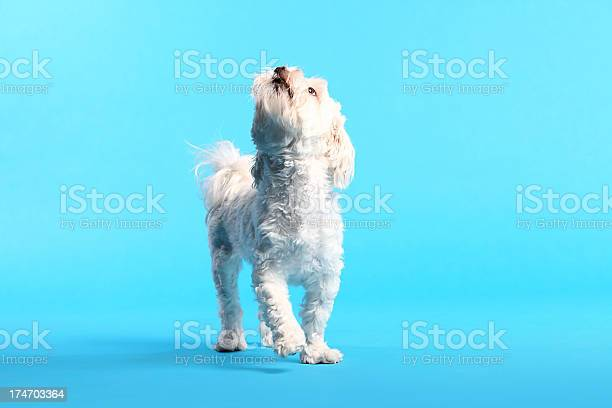Cute white maltese dog picture id174703364?b=1&k=6&m=174703364&s=612x612&h=faxk jlrpson6zwgkessxu26mwcmgf4z0vm8xx29tgc=