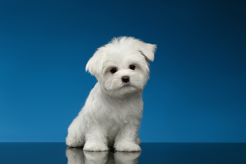 Cute White Maltese Puppy Sits and Curiously Looking in Camera