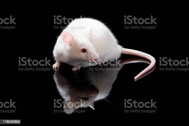 Cute White Mouse Stock Photo - Download Image Now