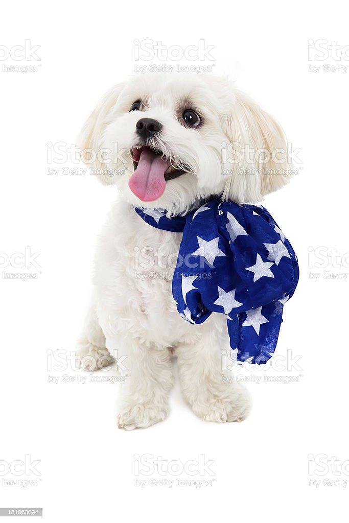 Cute white patriotic puppy stock photo