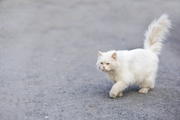 Cute white persian cat walking on the sand picture id1277269117?b=1&k=6&m=1277269117&s=612x612&w=0&h=lsg 4mp99qfhwaoywcgakide 0o1jbdqabe5as2qi9e=
