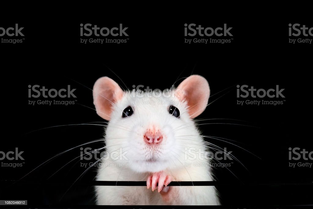 Cute white pet rat portrait with black background. Cute white pet rat portrait with black background. Front on symmetrical view of face with paw under chin. Rattus norvegicus domestica. Animal Stock Photo