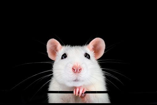 Cute white pet rat portrait with black background.