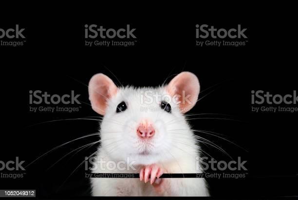 Cute white pet rat portrait with black background picture id1052049312?b=1&k=6&m=1052049312&s=612x612&h= y4uusrcetel oz trhq1hcnawjnaxiwgfs0ymc0btq=