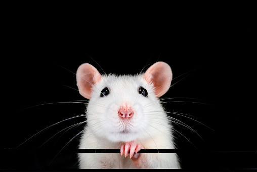 Cute White Pet Rat Portrait With Black Background Stock Photo - Download Image Now
