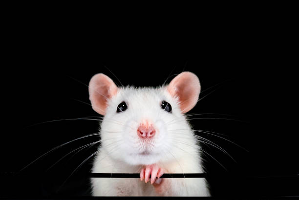 Cute white pet rat portrait with black background. stock photo