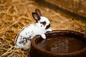 Cute white rabbit will eat water from the tray on brick floor in garden home. white rabbit drinks water.