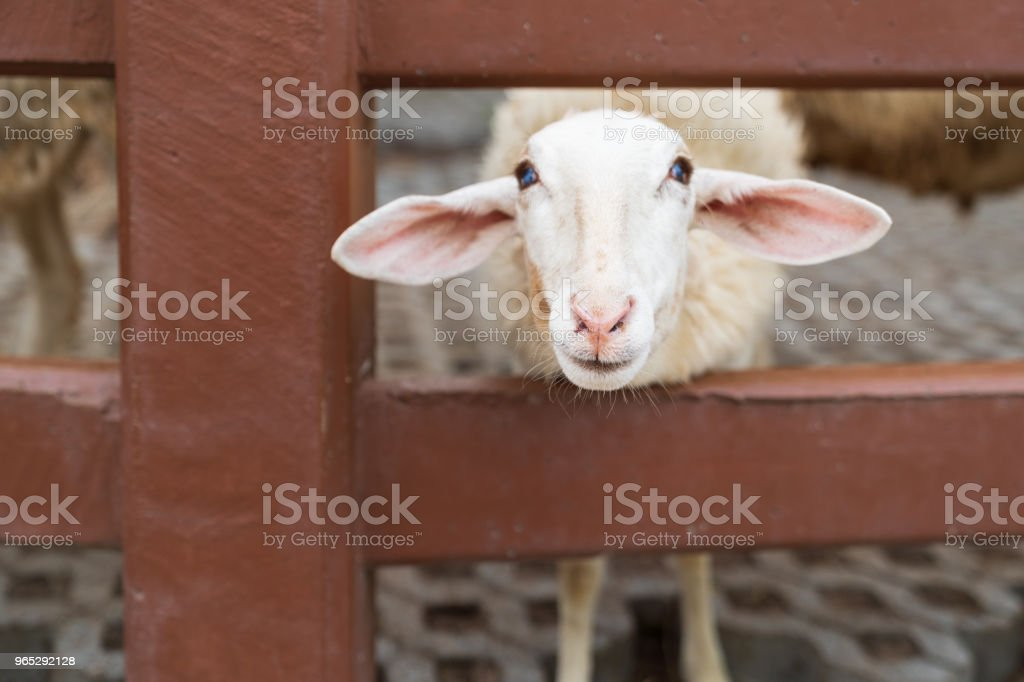 Cute white sheep in the farm. royalty-free stock photo