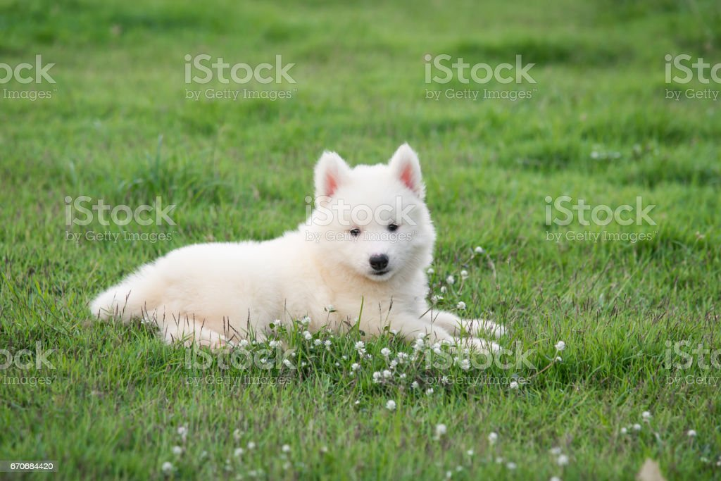 Cute White Siberian Husky Puppy On Grass Stock Photo Download Image Now Istock