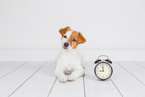 cute white small dog lying on the floor and looking at the camera. alarm clock with 9 am besides. Wake up and morning concept. Pets indoors