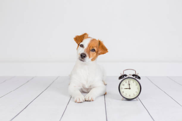cute white small dog lying on the floor and looking at the camera. alarm clock with 9 am besides. Wake up and morning concept. Pets indoors stock photo