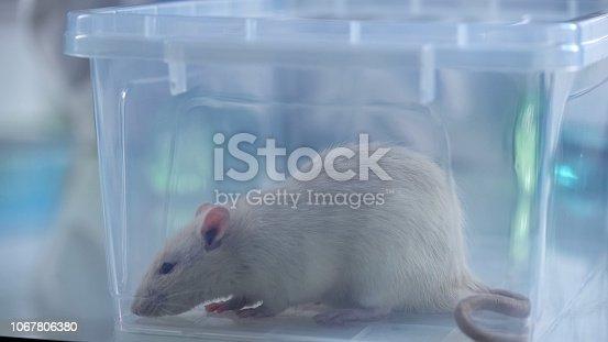 istock Cute white test rat sitting in plastic box, veterinary clinic service, science 1067806380