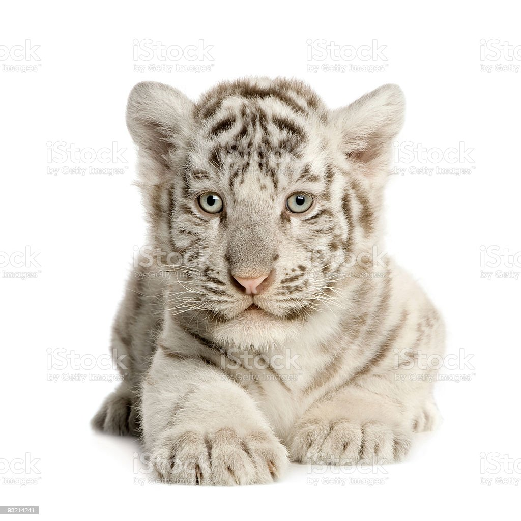 Cute white tiger cub on white background stock photo