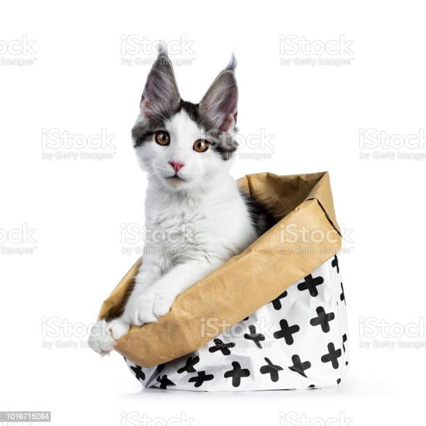 Cute white with blue tabby harlequin maine coon cat kitten sitting picture id1016715264?b=1&k=6&m=1016715264&s=612x612&h=in27r8riowlby1 zln ryvqhcdrrwnh zzxem0j6 ds=