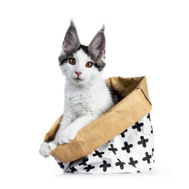 Cute white with blue tabby harlequin maine coon cat kitten sitting picture id1016715264?b=1&k=6&m=1016715264&s=612x612&w=0&h=i1bmsane5bhfyguskwydsjqzh5kjhwhiqcd9ws3rnna=