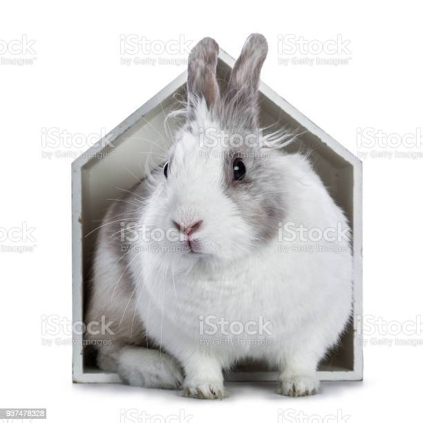 Cute white with grey rabbit sitting in white wooden house isolated on picture id937478328?b=1&k=6&m=937478328&s=612x612&h= mdt1eb fchbonuxzb cdfwknkeq22sttl xtilepdm=